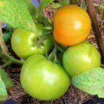 Tomato Garden Update – April 2016