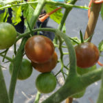 Can I Grow Cherry Tomatoes in a Container