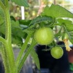 Tomato Growing Questions