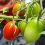 Tomato Growing Terms To Know