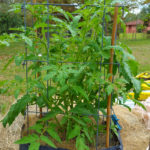 Container Gardening and Tomatoes